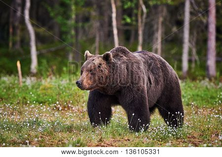 Big male brown bear walking in the finnish taiga