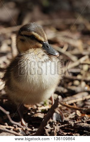 Duckling on a shore of forest lake