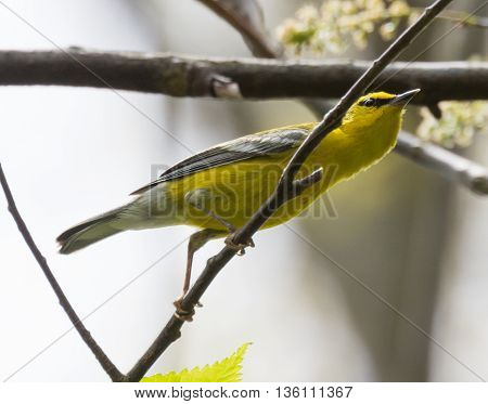 Blue-winged Warbler (Vermivora cyanoptera) perched on a branch