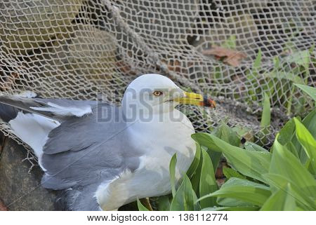 A close up of the seagull (Larus crassirostris).