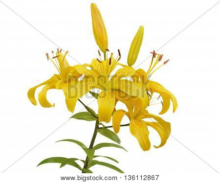 A close up of the flowers yellow lily. Isolated on white.