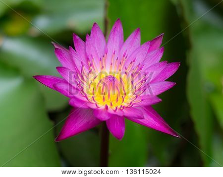 Colorful waterlily or beautiful lotus flower with blur background