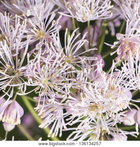 Columbine meadow-rue Thalictrum aquilegifolium detailed background macro selective focus shallow DOF
