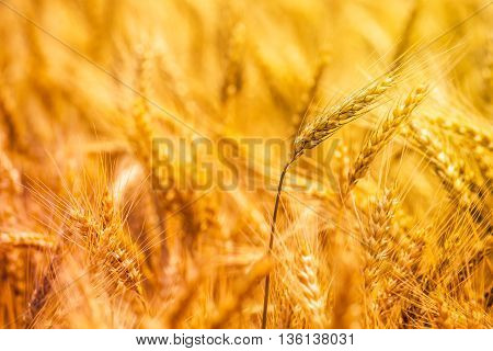 Harvest ready golden yellow triticale ears hybrid of wheat and rye growing in cultivated field