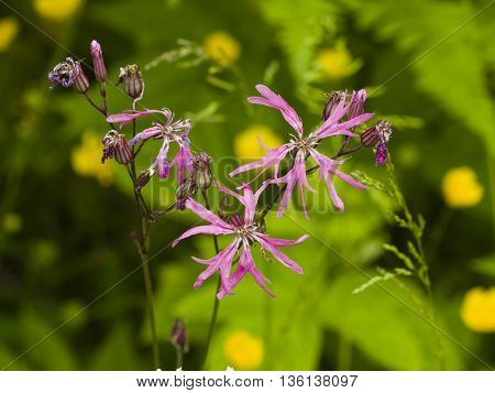 Ragged-Robin Lychnis flos-cuculi flowers detailed macro on bokeh background selective focus shallow DOF poster