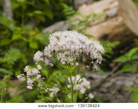 Columbine meadow-rue Thalictrum aquilegifolium flowers with bokeh background macro selective focus shallow DOF