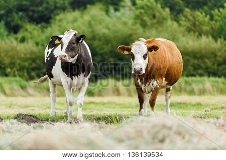 Two Dutch cows standing in a hay field