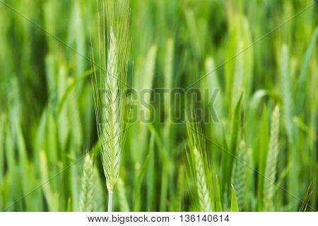 wheat stalks Farm Nature plant, stalk, farming,