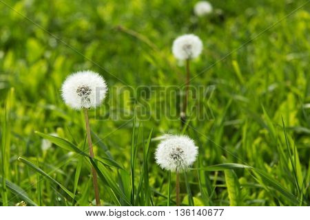 dandelion in a meadow abstract, background, beauty