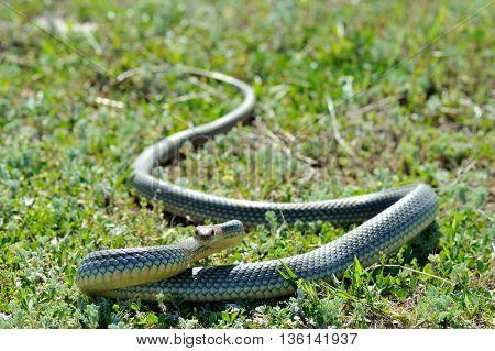 snake in natural habitat (Dolichophis caspius)