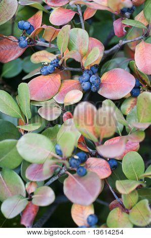 Blue berries bush