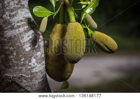 Jack fruit growing in a garden on a tree's branch