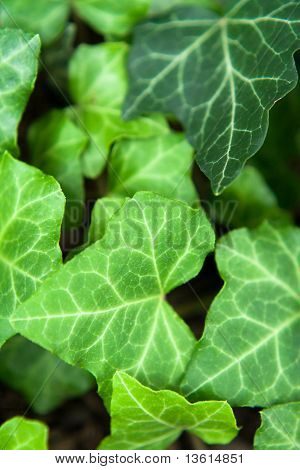 Lush green ground cover commonly known as English or California ivy poster