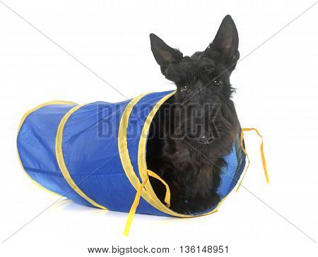 puppy scottish terrier in tunnel in front of white background