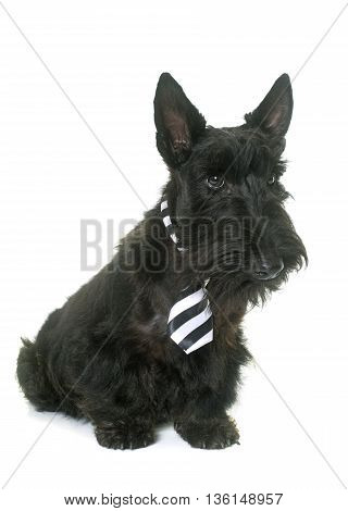 puppy scottish terrierwith tie in front of white background