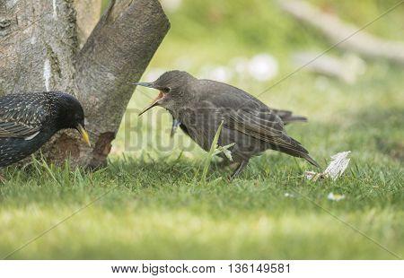 Starling, Sturnus Vulgaris, Juvenile Waiting To Be Fed