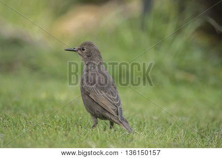 Starling, Juvenile, Sturnus Vulgaris, On The Grass