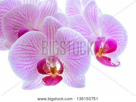Beautiful Pink Orchid Flowers Isolated on the White Background. Close up Floral Image