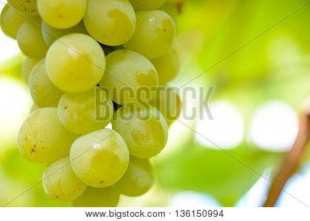 Close-up Image of Ripe Bunche of White Wine Grapes on Vine