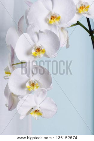 White Orchids Over Lite Blue Wall