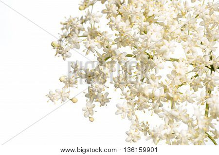 The flowers of elder isolated on white background are used most often medicinally. Elder.