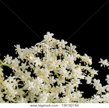 e flowers of elder isolated on black background, are used most often medicinally. Elder.