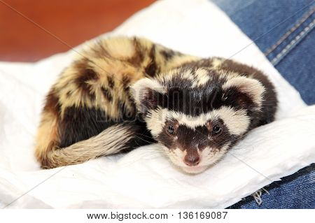 Marbled polecat (Vormela peregusna) lie on white cloth. Was classified as a vulnerable species in the IUCN Red List.
