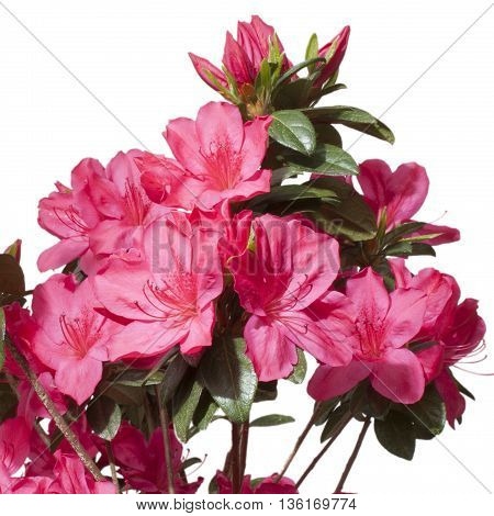 Pink azalea flowers that are in bloom and isolated on white