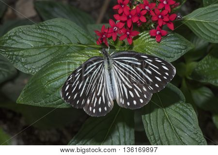 Common Wanderer butterfly sitting on a plant