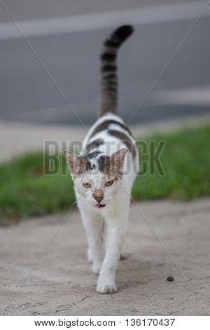 Sick and grumpy cat walking towards you