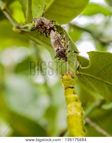 assassin bug is killing a butterfly on lemon tree