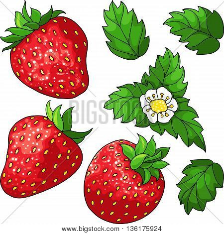 Set of three red ripe strawberry, green leaves and white flower. Vector illustration.