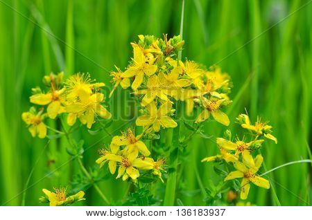 Hypericum. Hypericum - a genus of flowering plants of the family Hypericaceae order malpighiales (Malpighiales).