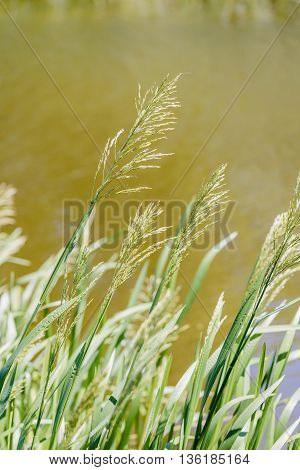 Green Glyceria Maxima Close To The Lake