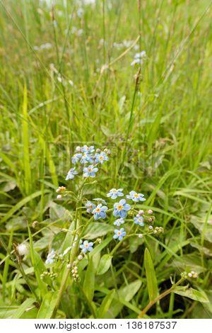 Myosotis Sylvatica In The Meadow