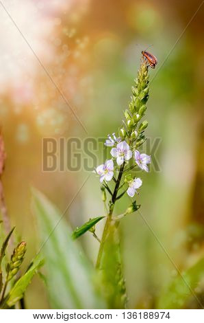 Purple Loosestrife Beetle On A Water Speedwell Flower