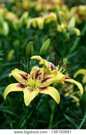 Beautiful Yellow Lilium Pieton in full bloom