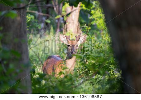 Young male whitetail deer (Odocoileus virginianus) peering out from between tree trunks in forest