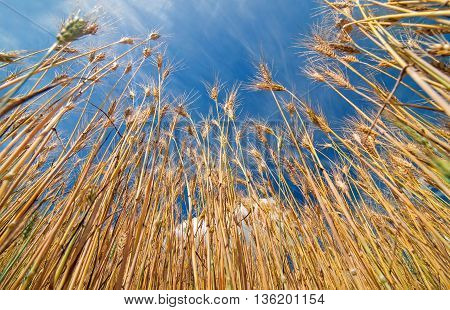 Field of barley and blue sky above