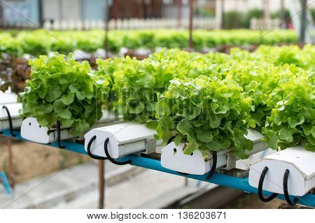 cultivation hydroponics green vegetable in farm. hydroponic, farm,