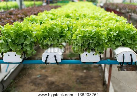 cultivation hydroponics green vegetable in farm. hydroponic, farm, green,