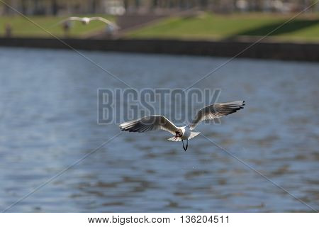 gull with piece of bread in its beak over water