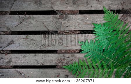 Fern in the forest. Fern on wood background.