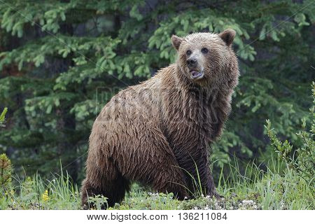 Grizzly Bear - Jasper National Park