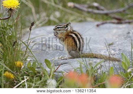 Least Chipmunk - Jasper National Park