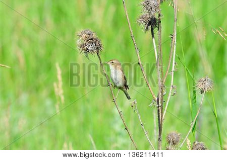 Tawny pipit. Tawny Pipit (Latin Anthus campestris) - View motacillidae family of birds.