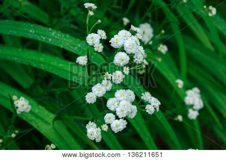 Delicate white flowers of yarrow in the grass