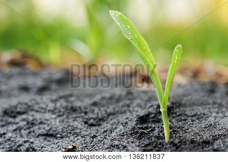 close up of corn seedling grow on rice husk ashes