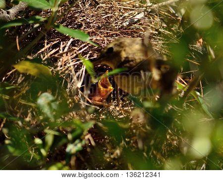 Common chiffchaff bird feeding its chicks in the nest