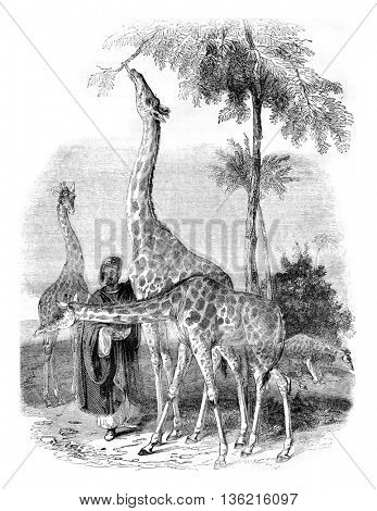 Giraffes arrived in London in 1836, vintage engraved illustration. Magasin Pittoresque 1836.